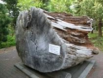 樹齢350年