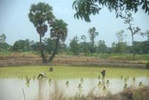 Repiquage dans les rizières