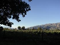 Dans les vignes de Cafayate