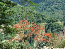 Flamboyants péruviens