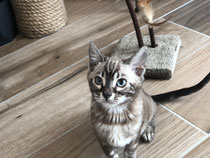 chaton bengal silver rosettes carriere pour snow