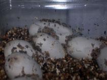Kornnattereier kurz vor dem Schlüpfen