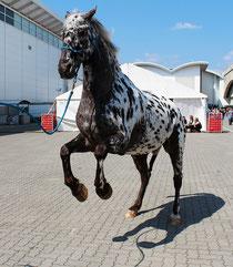 steigendes Pferd