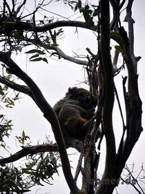 Koala neben der Straße zum Cape Otway