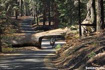mitten durch den liegenden Sequoia
