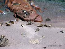 Seelöwen Kolonie am Cape Labatt