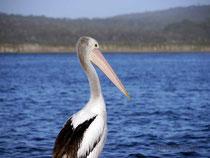 Pelikan am Walpole Inlet