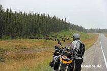 immer wieder Büffel am Alaska-Highway