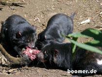 Fütterung der Tasmanischen Teufel