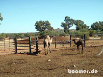 Wilde Kamele kommen auch gerne an die Tränke