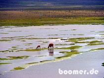 Lamas beim Grasen