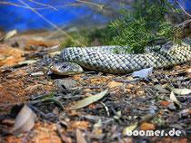 Schlange im Desert Park