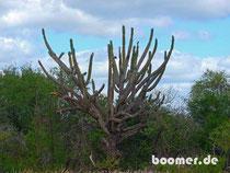 riesige Kakteen im Chaco