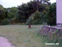 Wallaby auf dem Campingplatz in Devonport