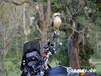 Maja bekommt Besuch von einem Kookaburra