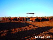Rinder für den Verkauf