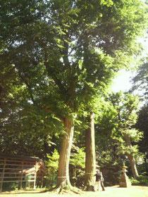 阿夫利神社の巨樹