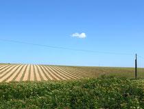 Lavendelfeld nach der Ernte
