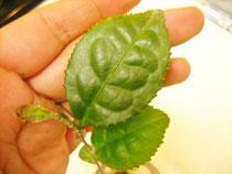 カメリアシネンシスの 幼木