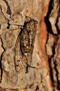 La Cigale grise - Cicada orni - 05/07/2011 - Drôme provençale