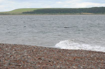 Grand dauphin - Tursiops truncatus - Moray Firth - Juillet 2008