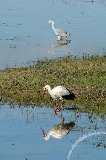 Storch, Störche, Auenland, Naturschutz, Naturschutzgebiet, Graureiher