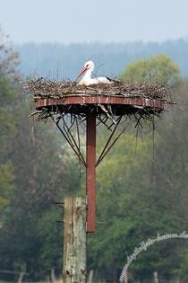 Storch, Störche, Auenland, Naturschutz, Naturschutzgebiet