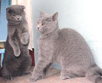 Как разнять дерущихся кошек?