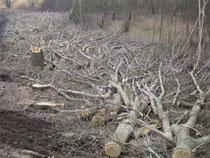 Pappelholzeinschlag