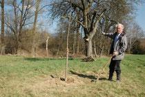 Das Nachpflanzen hochstämmiger Obstbäume bedeutet den Lebensraum für den Steinkauz langfristig zu sichern