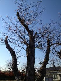風水 ガーデニング 庭木 サクラ 桜