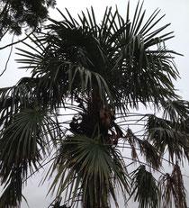 棕櫚 剪定 画像