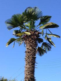 棕櫚 剪定