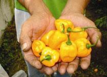 Comportamiento fenologico del chile habanero