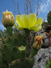 Цветущие кактусы на высоте Телеграфная под Севастополем