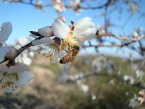 Abeille sur fleur de prunus