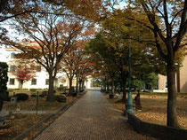 千葉記念ホールから見たイチョウ並木です。