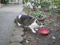 Katze grau-weiss getiegert