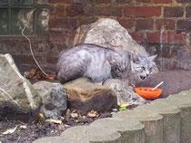 Katze graugetiegert hochträchtig