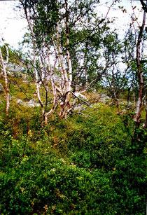 Birken mit Heidekraut im schwedischen Fjell