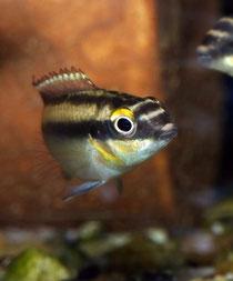 Pelvicachromis pulcher, © georg gläser