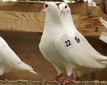 Deux femelles pigeons blancs