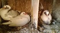Une femelle pigeon couve dans son nid alors que ses deux pigeonneaux sont encore dans leur nid adjacent