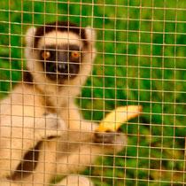 Lemuren im Hotel: Welch ein Triumph.