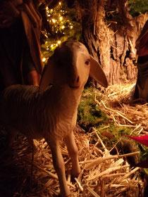 Weihnachten aus der Schafsperspektive