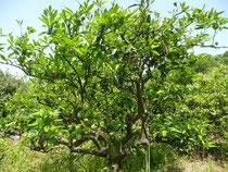 長老的...みかんの木