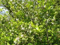 うす~い緑色の鮮やかな葉がついています