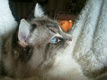 Yoshi (Ragdoll)