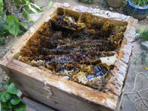 スムシと日本ミツバチ