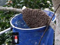 日本ミツバチ分封